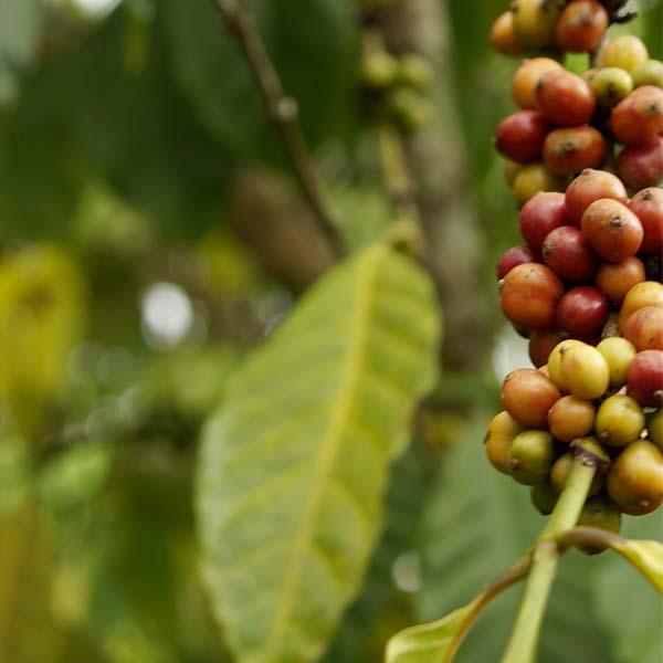 Grønn kaffesmak Naturex svetol
